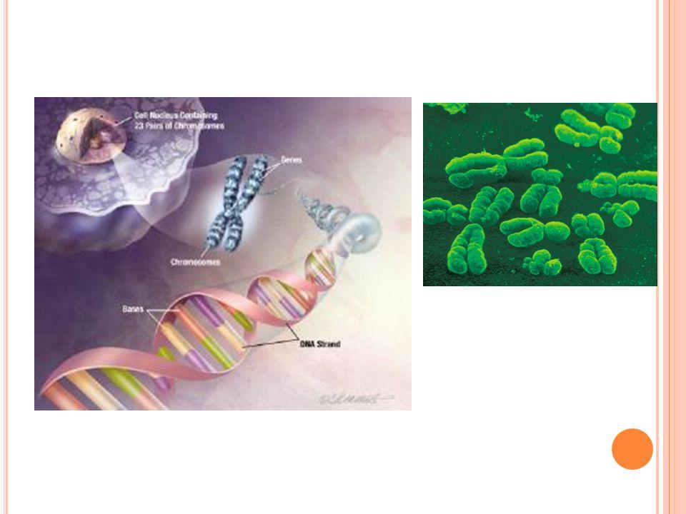 O RGANELAS C ELULARES Mitocôndria : Estruturas cilíndricas, compostas de duas membranas sendo que a interna possui as cristas, responsáveis pela produção de energia química na forma de ATP.