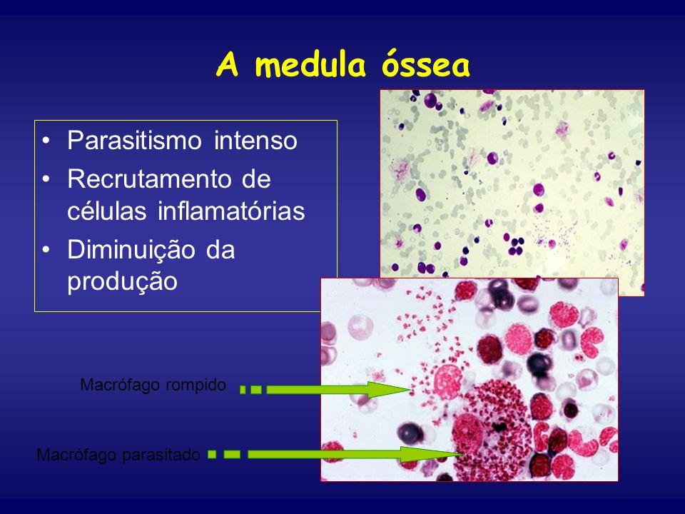 A medula óssea Parasitismo intenso Recrutamento de células inflamatórias Diminuição da produção Macrófago parasitado Macrófago rompido