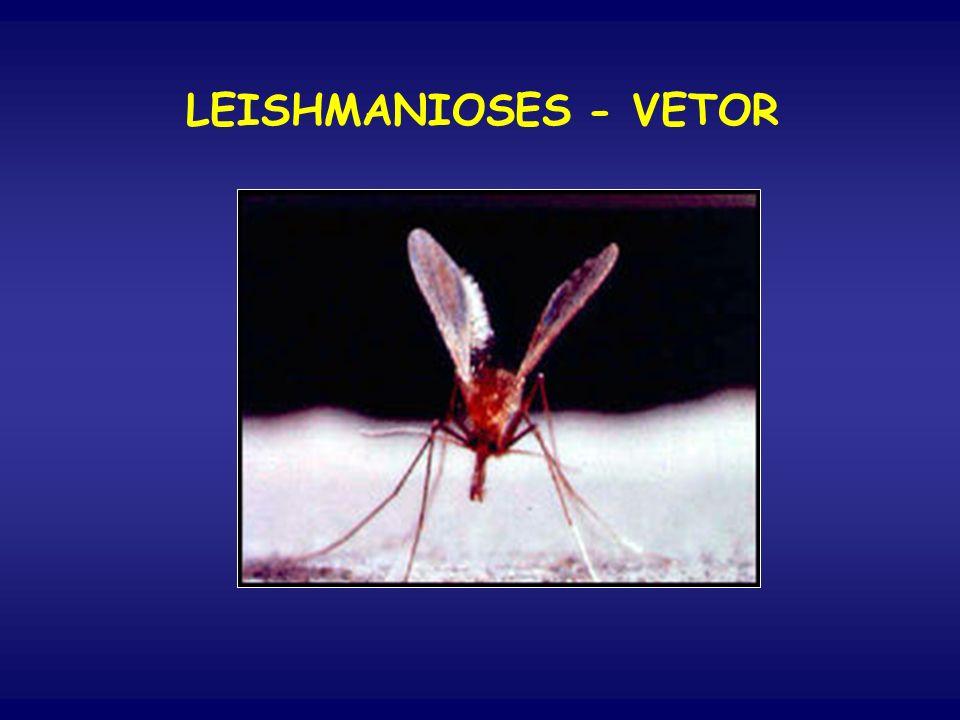 Inseto hematófago, pequeno, cor de palha, com grandes asas pilosas para trás e para cima, cabeça fletida para baixo.