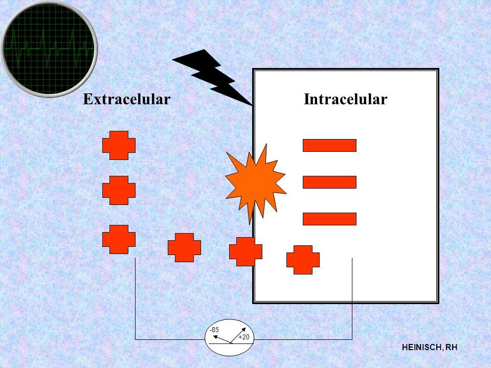 ExtracelularIntracelular HEINISCH, RH -85 +20