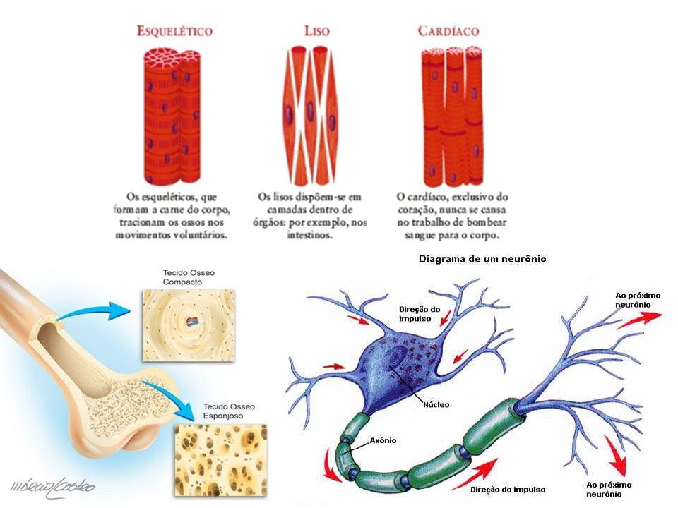 TECIDO TEGUMENTAR- CURIOSIDADES Em cada 2,54 cm de pele humana, existem 19 milhões de células, 60 pelos, 90 glândulas sebáceas, 5,79 metros de vasos sanguíneos, 625 glândulas sudoríparas e 19 mil células nervosas.