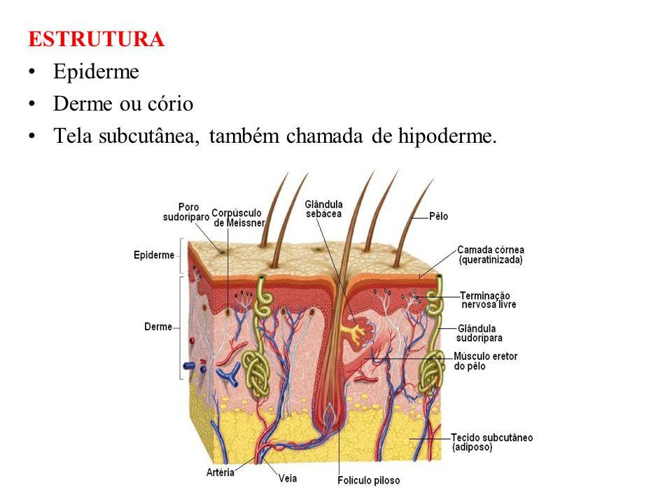 EPIDERME Conforme as células vão surgindo na camada basal as demais vão amadurecendo e sendo empurradas para camadas mais superiores pelas células mais jovens.