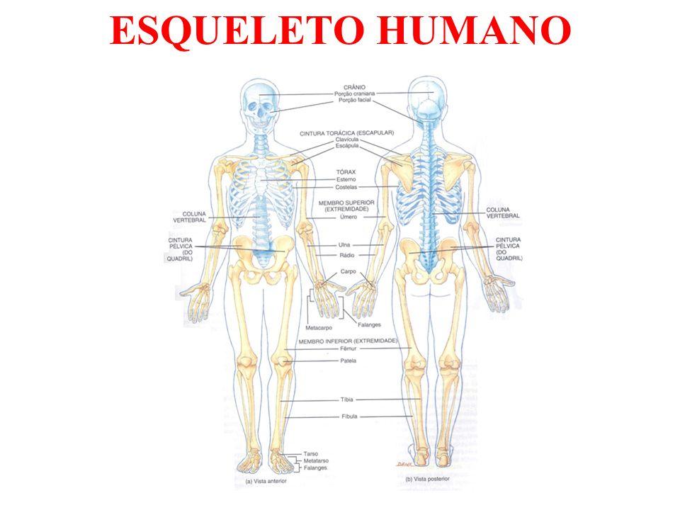 DIVISÃO DO ESQUELETO Esqueleto Axial - Composta pelos ossos da cabeça, pescoço e do tronco.