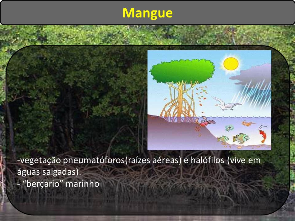 -vegetação pneumatóforos(raízes aéreas) e halófilos (vive em águas salgadas). - berçario marinho Mangue