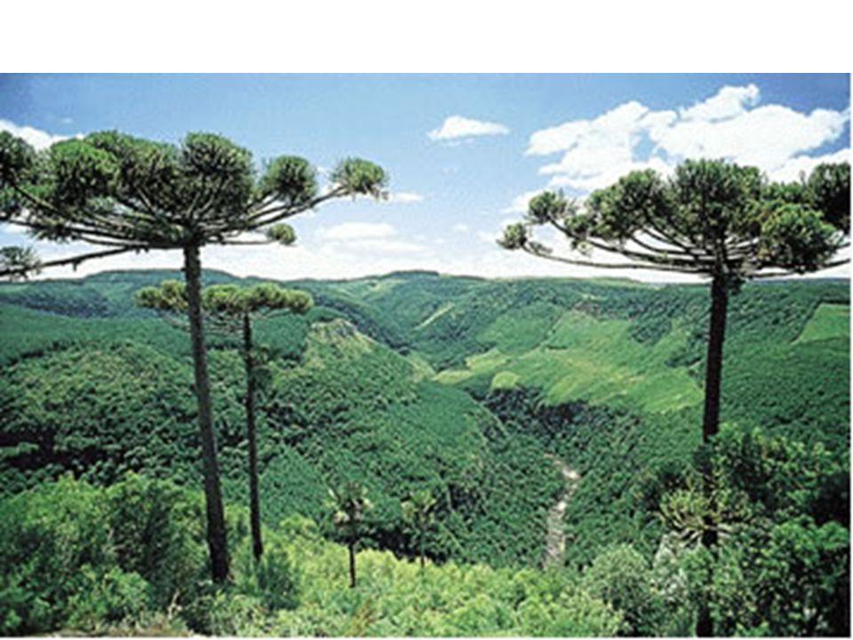 -vegetação pneumatóforos(raízes aéreas) e halófilos (vive em águas salgadas).