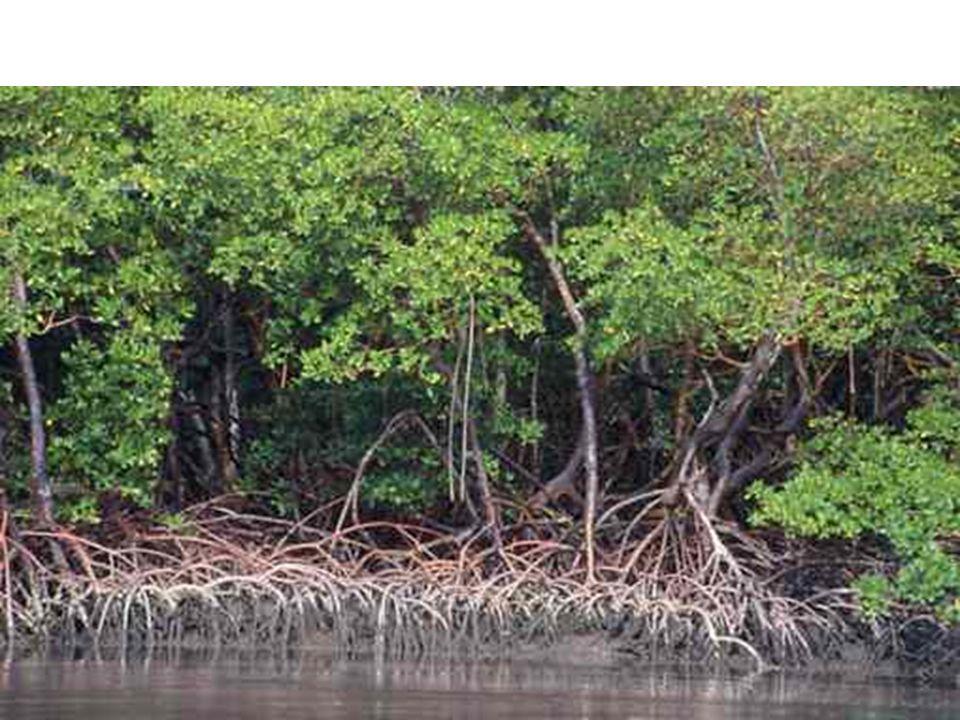 Restinga Restinga: terreno arenoso e salino, próxima ao mar e coberta de plantas herbáceas.
