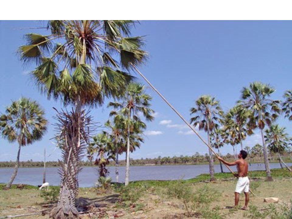 Floresta Amazônica - Latifoliada: com vegetais de folhas largas e grandes; - Heterogênea: apresenta grande variedade de espécies vegetais, ou grande biodiversidade; - Densa: bastante compacta ou intrincada com plantas muito próximas uma das outras; - Perene: sempre verde, pois não perde as folhas - Hidrófila: com vegetais adaptados a um clima bastante úmido; - 20% já foi destruída - Três tipos de matas, de acordo com sua proximidade dos rios 1-Mata de igapó – permanentemente inundada; vitória-régia, orquídeas e bromélias 2-Mata de várzea – sujeita às inundações periódicas 3-Mata de terra firme – áreas não afetadas pelas inundações.