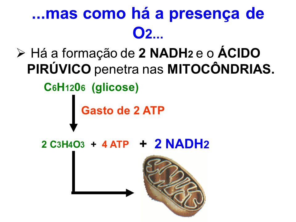 ...mas como há a presença de O 2... Há a formação de 2 NADH 2 e o ÁCIDO PIRÚVICO penetra nas MITOCÔNDRIAS. C 6 H 12 0 6 (glicose) Gasto de 2 ATP 2 C 3