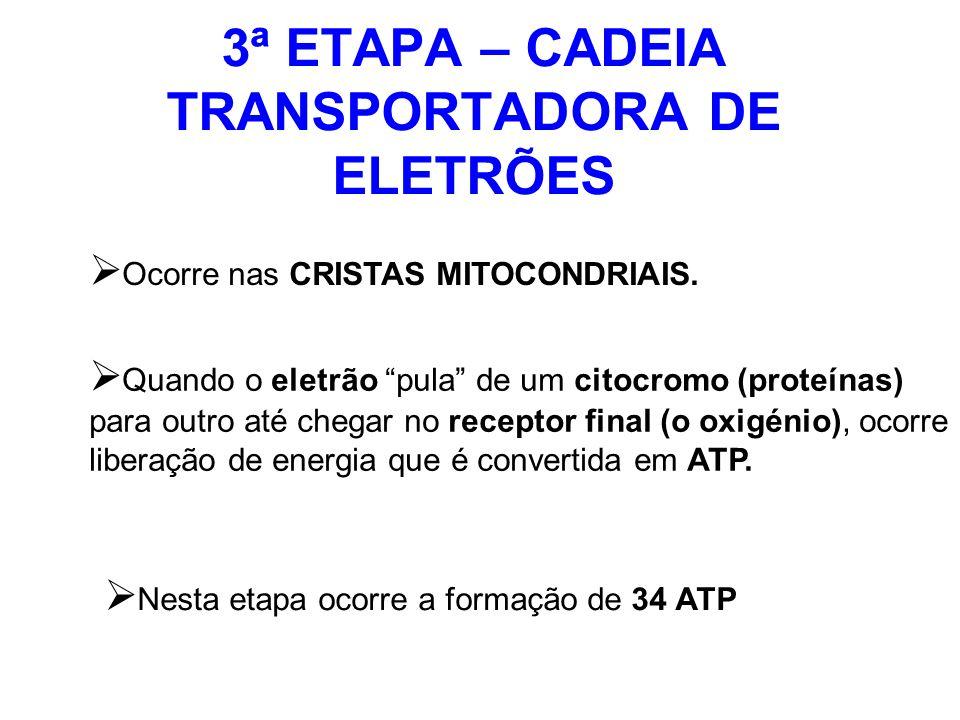 3ª ETAPA – CADEIA TRANSPORTADORA DE ELETRÕES Ocorre nas CRISTAS MITOCONDRIAIS. Quando o eletrão pula de um citocromo (proteínas) para outro até chegar