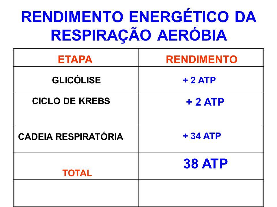 RENDIMENTO ENERGÉTICO DA RESPIRAÇÃO AERÓBIA CICLO DE KREBS + 2 ATP ETAPARENDIMENTO GLICÓLISE CADEIA RESPIRATÓRIA TOTAL + 2 ATP + 34 ATP 38 ATP