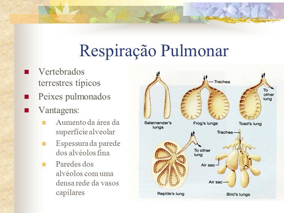 Respiração Pulmonar Vertebrados terrestres típicos Peixes pulmonados Vantagens: Aumento da área da superfície alveolar Espessura da parede dos alvéolo