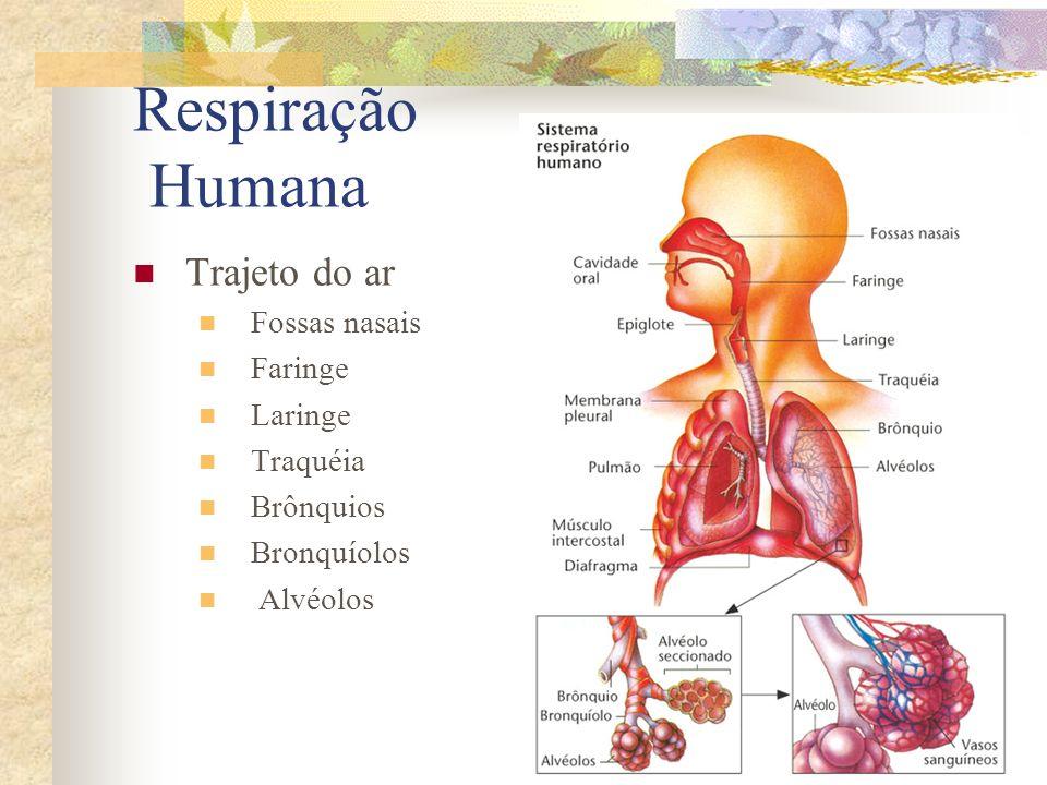 Respiração Humana Trajeto do ar Fossas nasais Faringe Laringe Traquéia Brônquios Bronquíolos Alvéolos