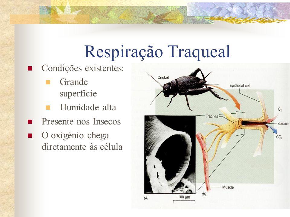 Respiração Traqueal Condições existentes: Grande superfície Humidade alta Presente nos Insecos O oxigénio chega diretamente às célula