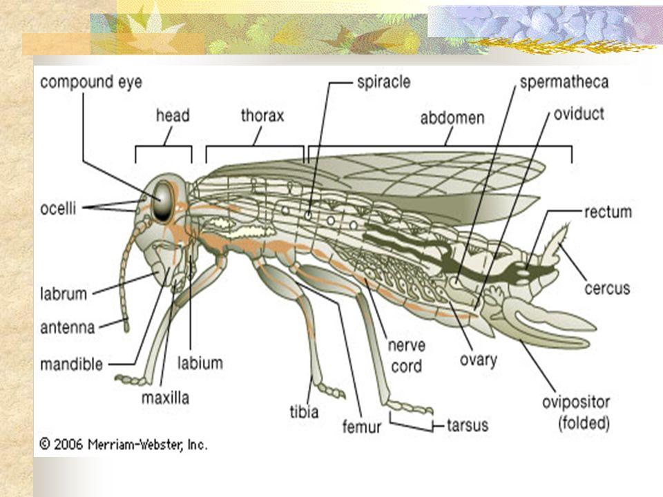 Sistemas respiratórios Características das superfícies respiratórias: Grande área de contacto entre o meio interno e externo Humidade Alta Vascularização Intensa Estruturas finas Exceção Sistema Traqueal