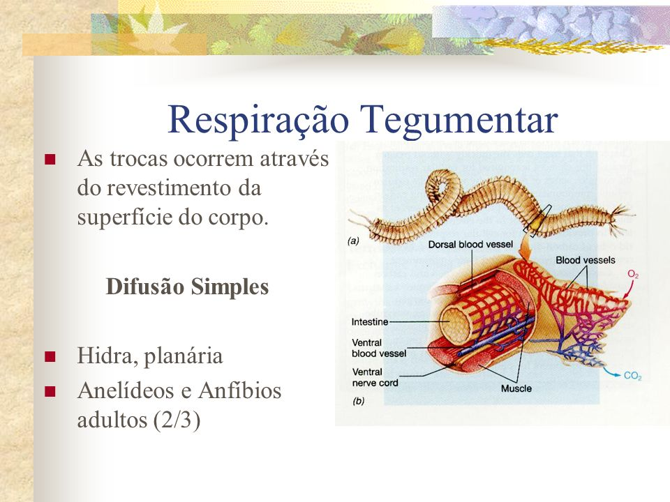 Respiração Tegumentar As trocas ocorrem através do revestimento da superfície do corpo. Difusão Simples Hidra, planária Anelídeos e Anfíbios adultos (