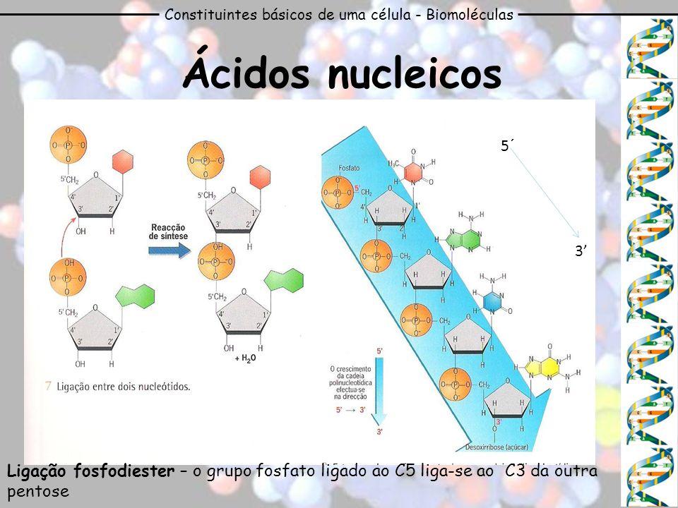 Constituintes básicos de uma célula - Biomoléculas Ácidos nucleicos 5´ 3 Ligação fosfodiester – o grupo fosfato ligado ao C5 liga-se ao C3 da outra pe