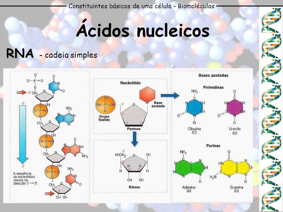 Constituintes básicos de uma célula - Biomoléculas Ácidos nucleicos RNA - cadeia simples