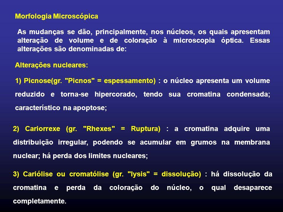 Morfologia Microscópica As mudanças se dão, principalmente, nos núcleos, os quais apresentam alteração de volume e de coloração à microscopia óptica.