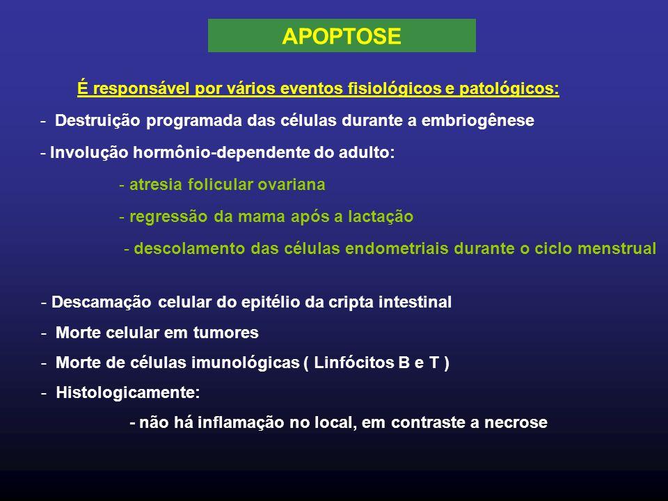 É responsável por vários eventos fisiológicos e patológicos: - Destruição programada das células durante a embriogênese - Involução hormônio-dependente do adulto: - atresia folicular ovariana - regressão da mama após a lactação - descolamento das células endometriais durante o ciclo menstrual - Descamação celular do epitélio da cripta intestinal - Morte celular em tumores - Morte de células imunológicas ( Linfócitos B e T ) - Histologicamente: - não há inflamação no local, em contraste a necrose APOPTOSE