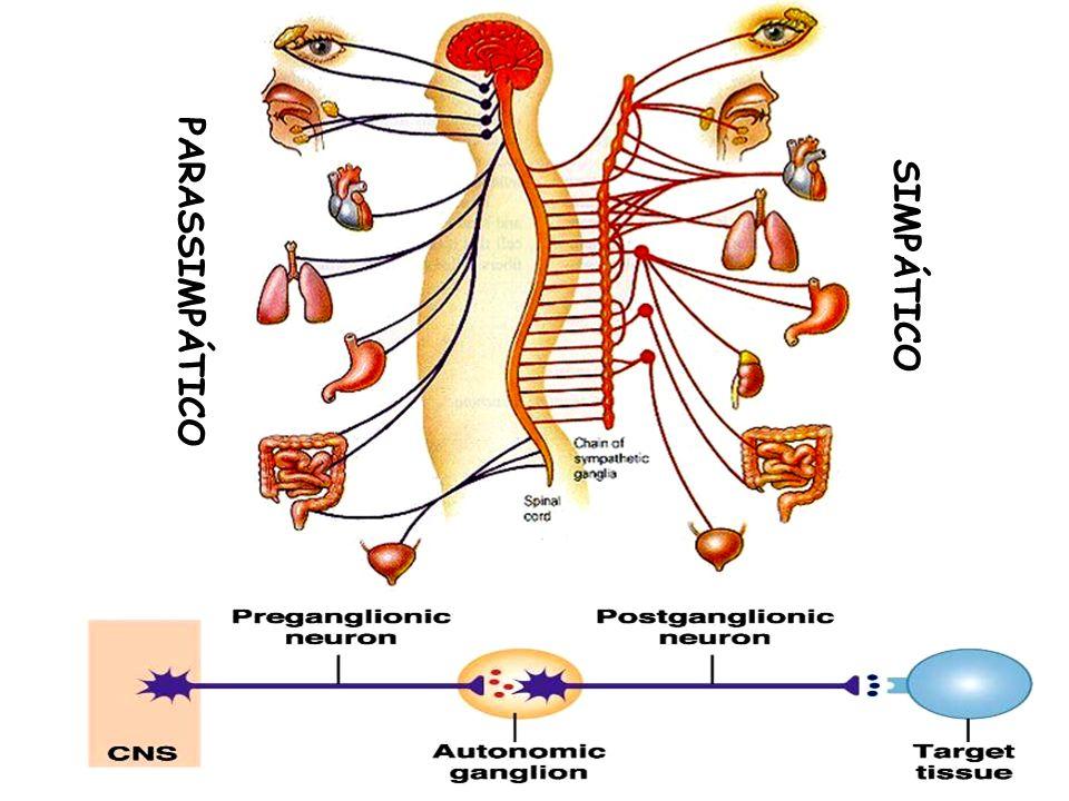 AGENTES COLINÉRGICOS DE AÇÃO INDIRETA ou ANTICOLINESTERÁSICOS CLASSIFICAÇÃO: Segundo a estabilidade do complexo enzima- fármaco: REVERSÍVEIS Grupo dos Carbamatos: Fisostigmina Neostigmina (prostigmine®) Piridostigmina (mestinon®) Rivastigmina (exelon®) Diversos: Edrofônio Tacrina (tacrinal®) Donepezil (eranz®)