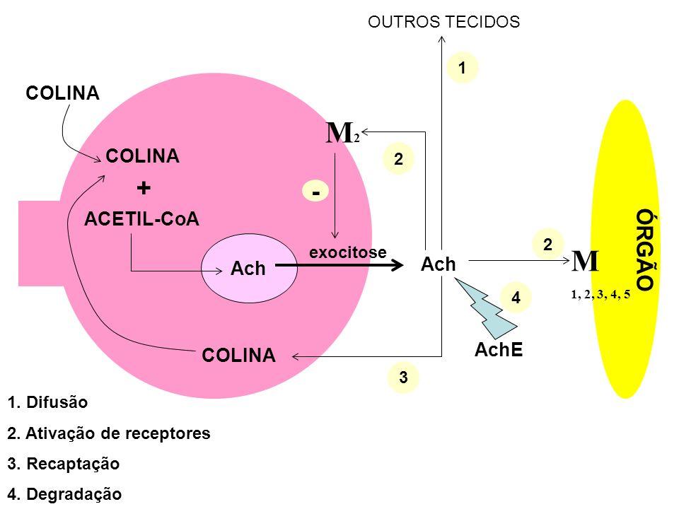 ÓRGÃO COLINA + ACETIL-CoA Ach exocitose Ach M 1, 2, 3, 4, 5 M2M2 2 2 1 3 COLINA AchE 4 OUTROS TECIDOS 1. Difusão 2. Ativação de receptores 3. Recaptaç