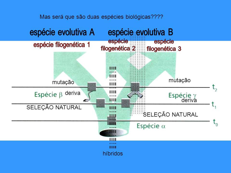 híbridos Mas será que são duas espécies biológicas???? mutação deriva SELEÇÃO NATURAL mutação deriva SELEÇÃO NATURAL