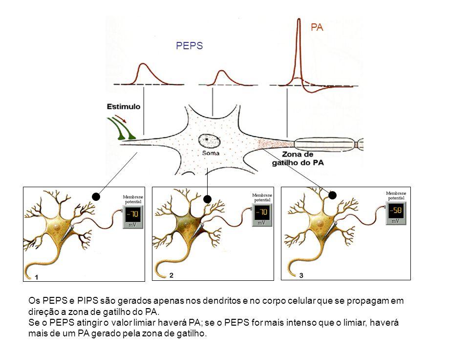 PEPS PA Os PEPS e PIPS são gerados apenas nos dendritos e no corpo celular que se propagam em direção a zona de gatilho do PA. Se o PEPS atingir o val