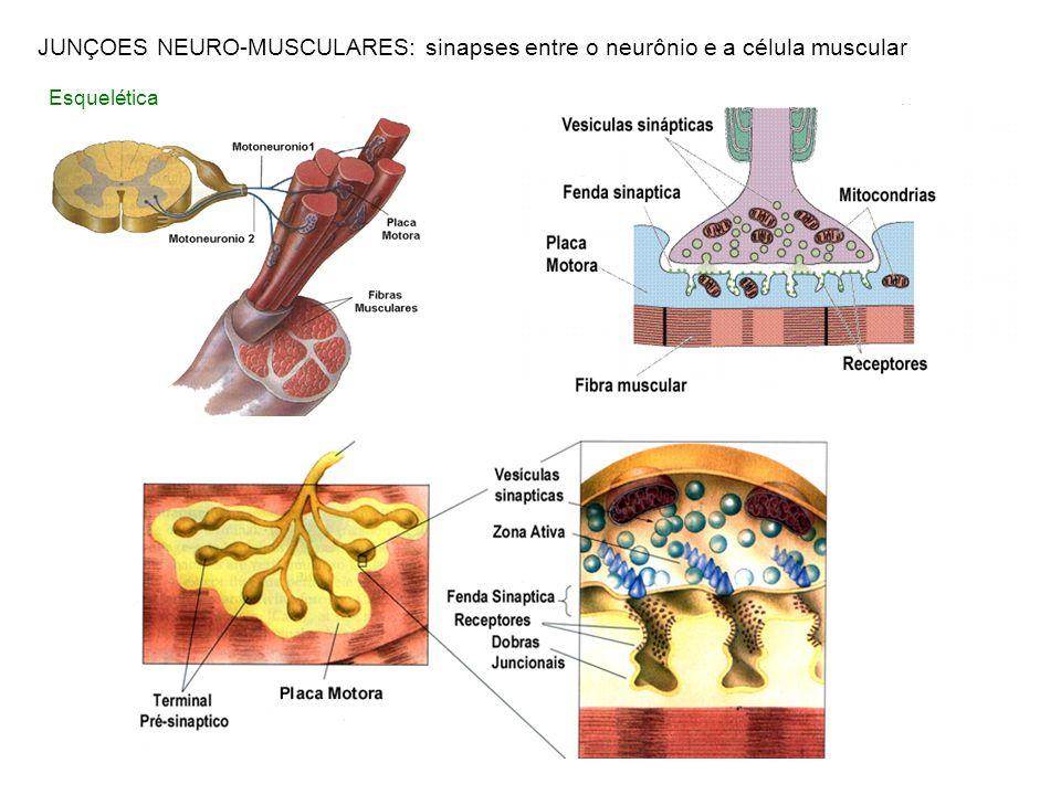 Esquelética JUNÇOES NEURO-MUSCULARES: sinapses entre o neurônio e a célula muscular