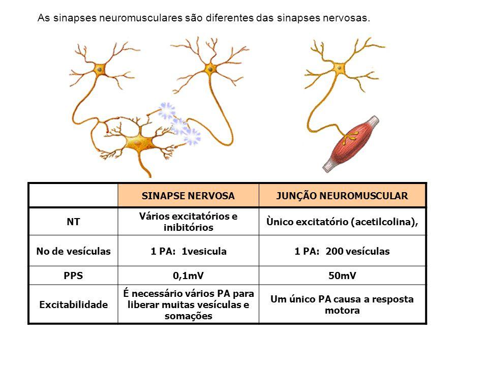 As sinapses neuromusculares são diferentes das sinapses nervosas. SINAPSE NERVOSAJUNÇÃO NEUROMUSCULAR NT Vários excitatórios e inibitórios Ùnico excit