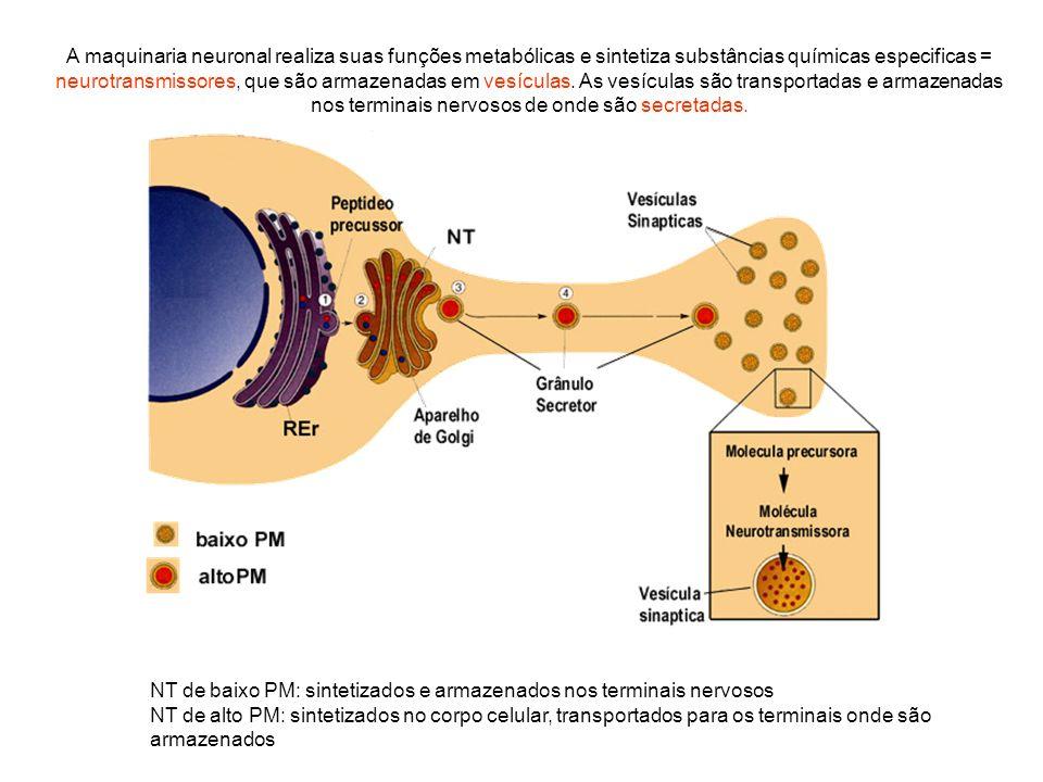 A maquinaria neuronal realiza suas funções metabólicas e sintetiza substâncias químicas especificas = neurotransmissores, que são armazenadas em vesíc