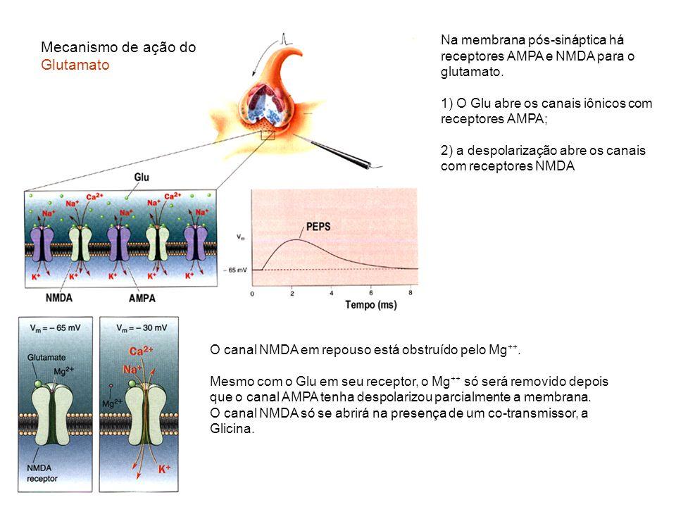 Mecanismo de ação do Glutamato O canal NMDA em repouso está obstruído pelo Mg ++. Mesmo com o Glu em seu receptor, o Mg ++ só será removido depois que
