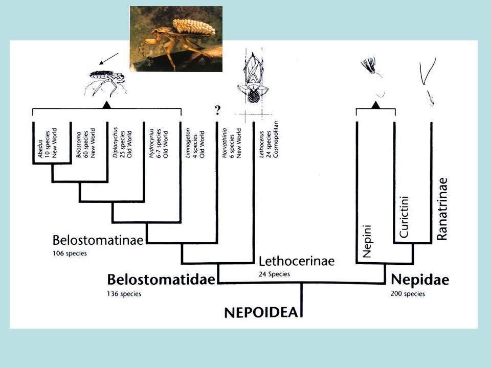Geralmente, fêmeas maiores que os machos fêmea mach o oviposição fêmea mach o oviposição Back- brooders Emergent-brooders ou Nepoidea Belostomatinae