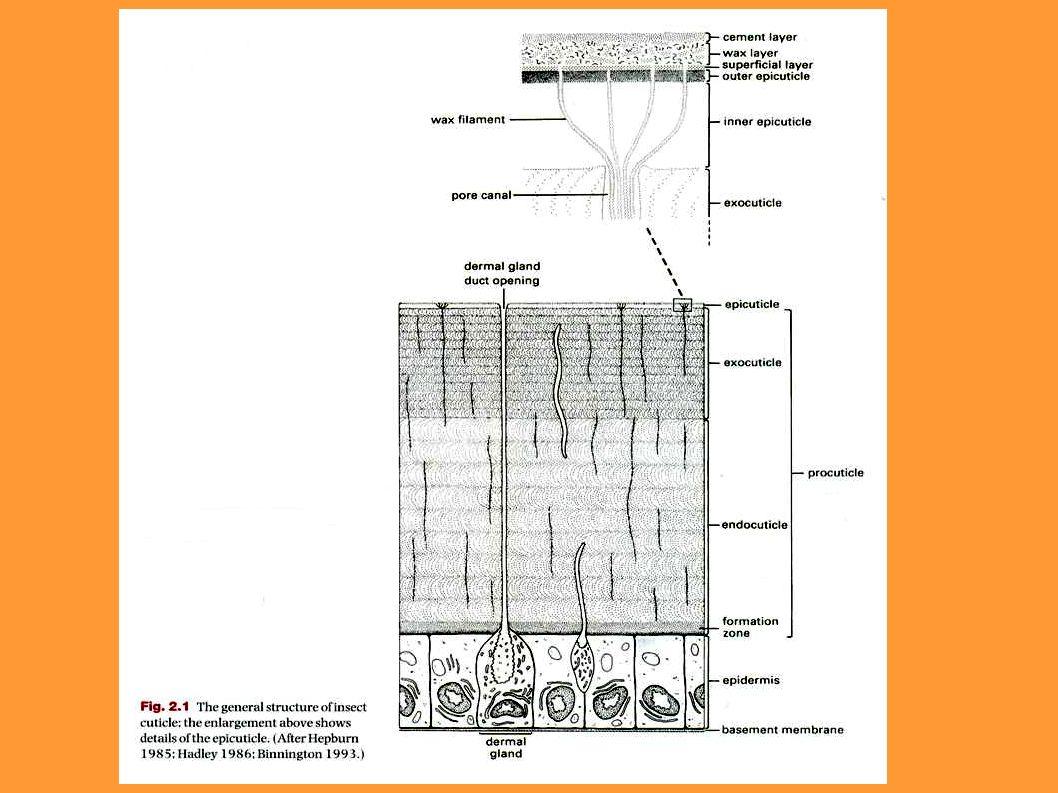 Sensilas celocônicas: peças bucais e antenas