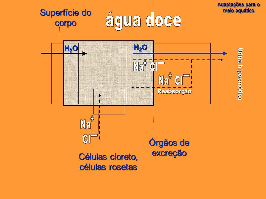 Adaptações para o meio aquático Adaptações para o meio aquático H2OH2OH2OH2O Reabsorção Órgãos de excreção Células cloreto, células rosetas H2OH2OH2OH