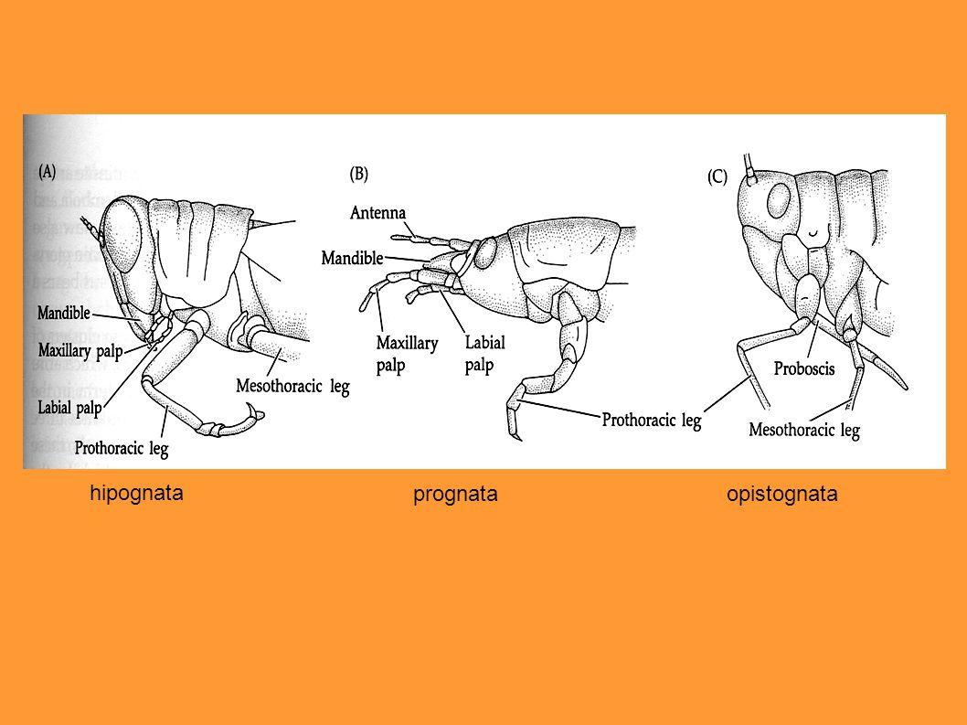 Hormôniocerebral Ecdisona Neotenina (diapausa) (ovos)