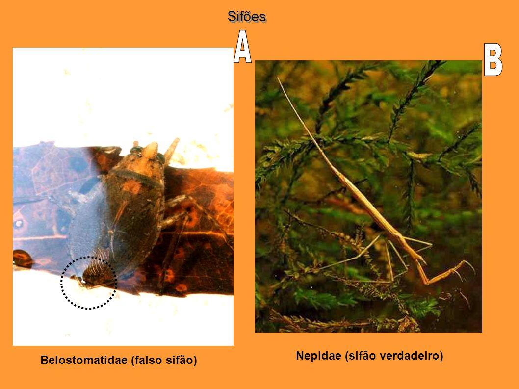 Belostomatidae (falso sifão) Nepidae (sifão verdadeiro) Sifões