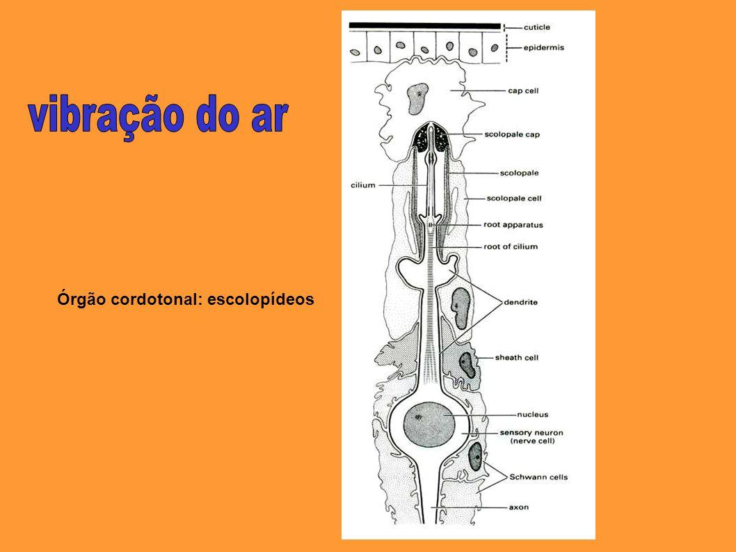 Órgão cordotonal: escolopídeos