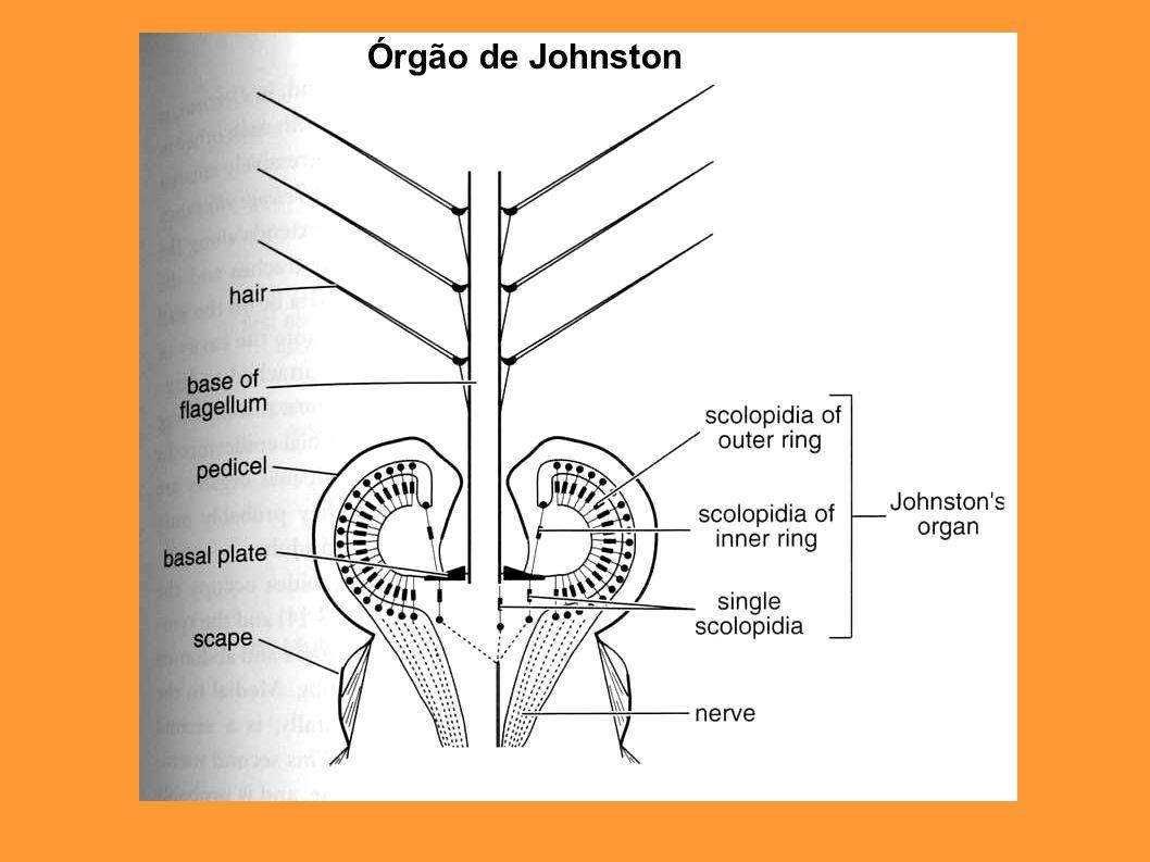 Órgão de Johnston