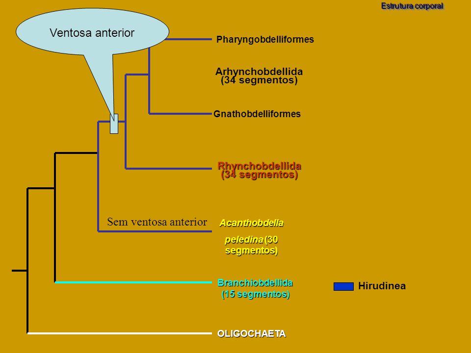 Branchiobdellida (15 segmentos) OLIGOCHAETA Acanthobdella peledina (30 segmentos) Estrutura corporal Pharyngobdelliformes Gnathobdelliformes Rhynchobd