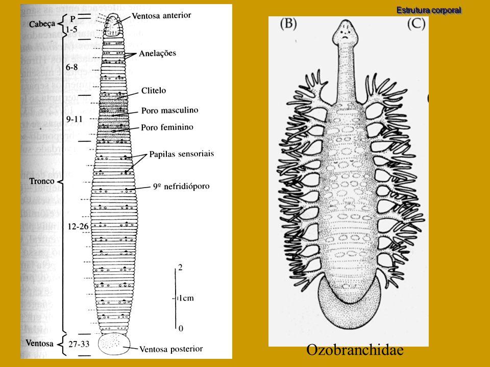 Ozobranchidae Estrutura corporal