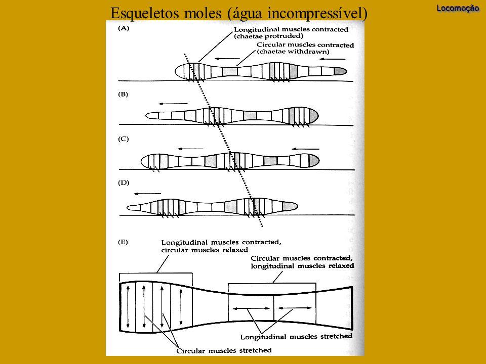 Esqueletos moles (água incompressível)LocomoçãoLocomoção