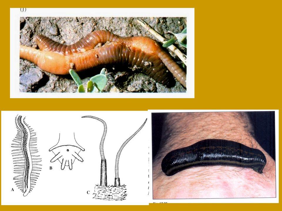 Branchiobdellida (15 segmentos) OLIGOCHAETA Acanthobdella peledina (30 segmentos) Estrutura corporal Pharyngobdelliformes Gnathobdelliformes Rhynchobdellida (34 segmentos) Arhynchobdellida (34 segmentos) Número fixo de segmentos Hirudinea
