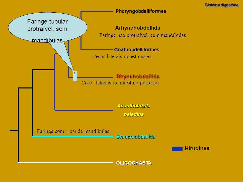 Sistema digestório Branchiobdellida OLIGOCHAETA Acanthobdellapeledina Pharyngobdelliformes Gnathobdelliformes Rhynchobdellida Arhynchobdellida Faringe