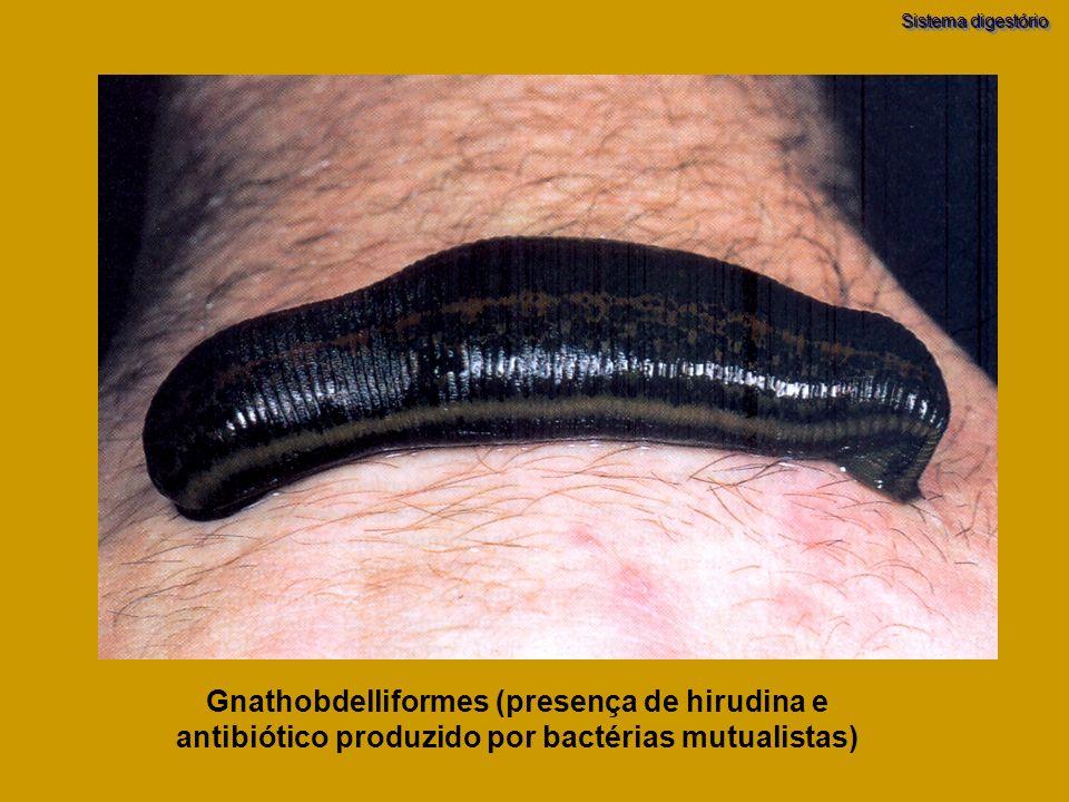 Gnathobdelliformes (presença de hirudina e antibiótico produzido por bactérias mutualistas) Sistema digestório