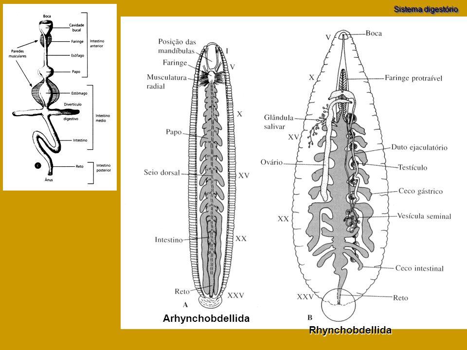 Rhynchobdellida Arhynchobdellida Sistema digestório
