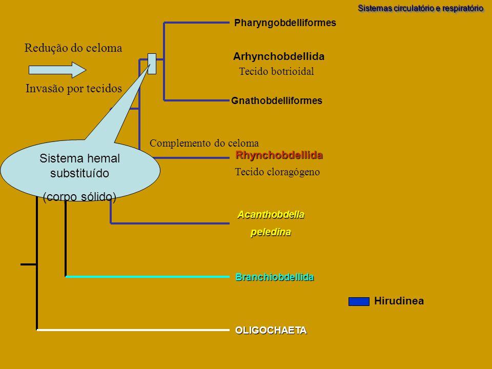 Branchiobdellida OLIGOCHAETA Acanthobdellapeledina Pharyngobdelliformes Gnathobdelliformes Rhynchobdellida Arhynchobdellida Sistema hemal substituído