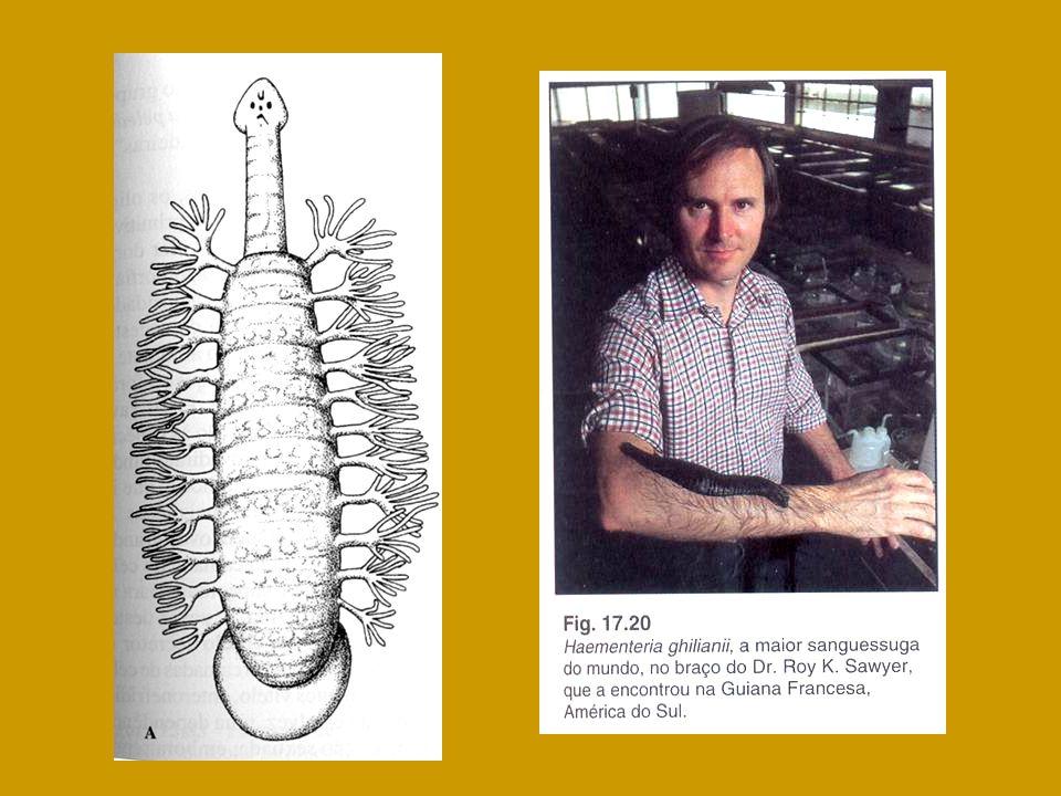 Branchiobdellida (15 segmentos) OLIGOCHAETA Acanthobdella peledina (30 segmentos) Estrutura corporal Pharyngobdelliformes Gnathobdelliformes Rhynchobdellida (34 segmentos) Arhynchobdellida (34 segmentos) Ventosa terminal e ânus dorsal Hirudinea