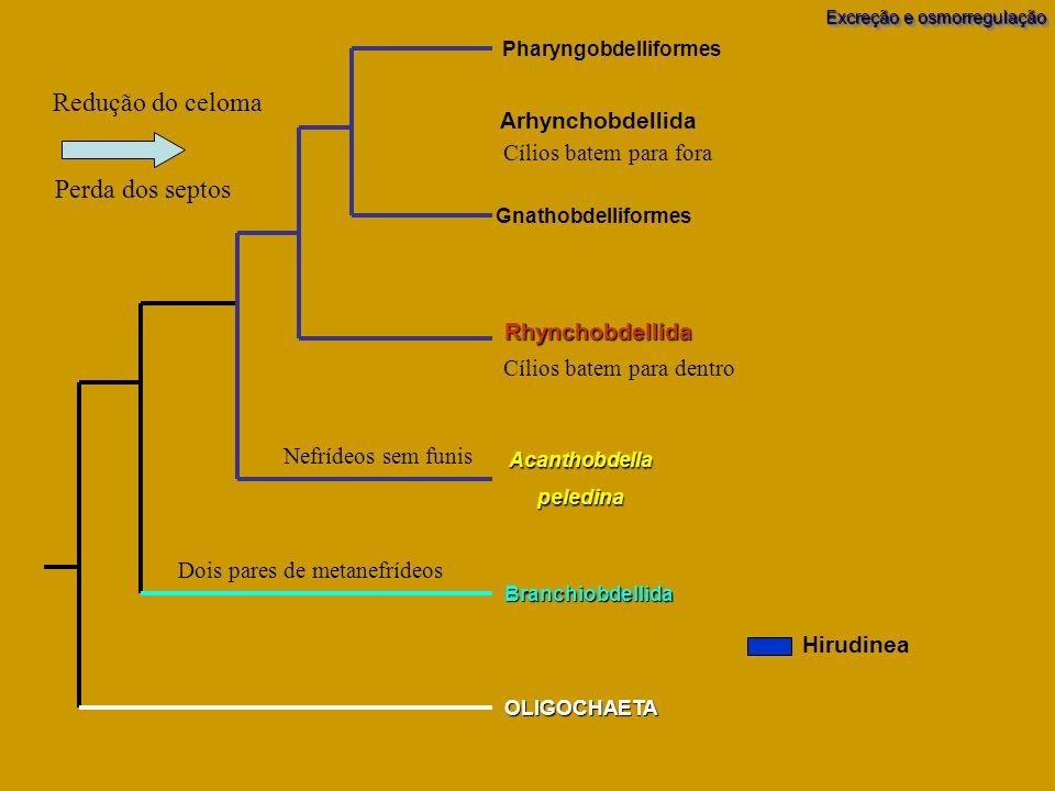 Branchiobdellida OLIGOCHAETA Acanthobdellapeledina Pharyngobdelliformes Gnathobdelliformes Rhynchobdellida Arhynchobdellida Excreção e osmorregulação