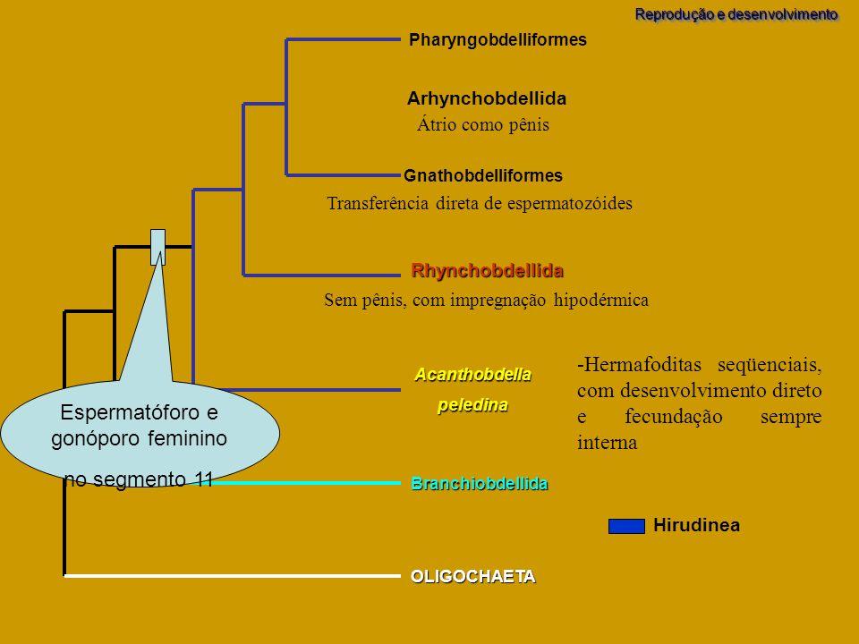 Branchiobdellida OLIGOCHAETA Acanthobdellapeledina Pharyngobdelliformes Gnathobdelliformes Rhynchobdellida Arhynchobdellida Espermatóforo e gonóporo f