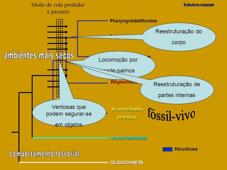 Branchiobdellida OLIGOCHAETA Acanthobdellapeledina Pharyngobdelliformes Gnathobdelliformes Rhynchobdellida Arhynchobdellida Estrutura corporal Hirudin